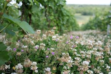 """Beaucoup de trèfle, des petites fleurs & un retour à la biodiversité dans notre vignoble, exemple de la parcelle des """"Tarons"""" à Fleury."""