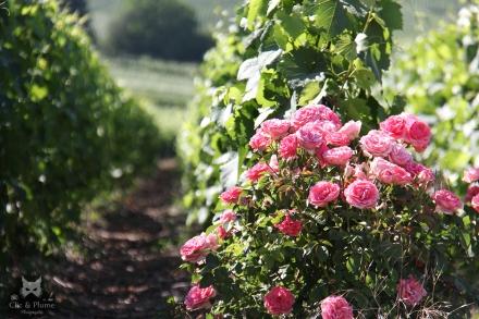 Les rosiers, très beaux mixés à la vigne, mais également efficaces pour détecter certaines maladies (le rosier les contracte avant la vigne).
