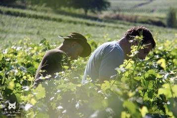 """Père & fils palissant leurs vignes, parcelle """"Les Tarons""""."""