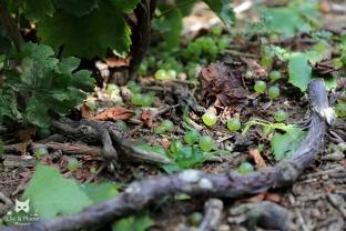 Le sol après la cueillette