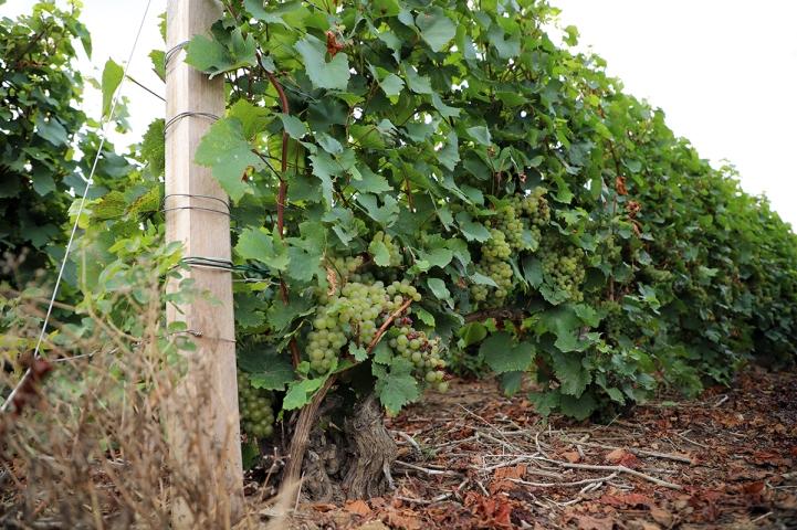 """Le Chardonnay des """"Tarons"""""""
